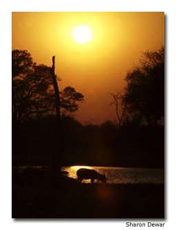 As the sun rises, a waterbuck drinks from a small watering hole.