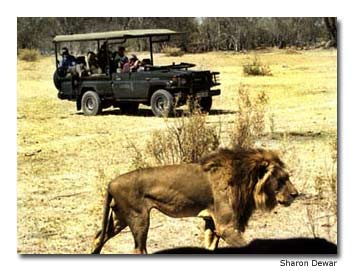 Travelers on safari get up close and personal with a male African lion in Botswana's Moremi Reserve.