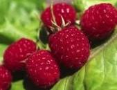 偷树莓 Rustling Raspberries