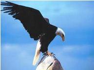 老鹰的重生 Rebirth of the Eagle