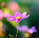 花之歌 Song of The Flower